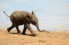 Baby Elephant. A full body of a cute little wild African Elephant baby running close to a waterhole and watching other wildlife in a game park in South Africa royalty free stock photography