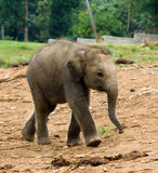 Baby Elephant. Asian baby Elephant in the elephant nursery, Pinnawela, Sri lanka Stock Image