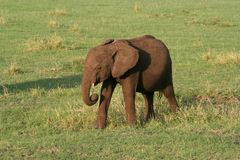 Baby Elephant. A baby elephant walking across the grass Royalty Free Stock Images