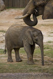 Baby Elephant. Under a watchful parent's eye.This is the 4600000th image online Stock Photo