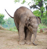 Baby elephant. Happy baby indian elephant in nature stock photo