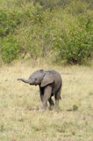 Baby Elephant. A baby elephant hurries to catch up with the rest of it's family in Kenya's Masai Mara Royalty Free Stock Photos