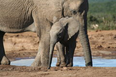 Baby Elephant. By the Wateringhole royalty free stock images
