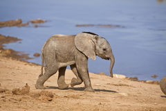 Baby Elephant. A Baby Elephant runs past the photograher stock photos