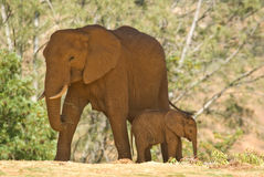 Baby elephant. Baby and mom elephant at a zoo, standing in shade stock photo