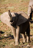 Baby elephant acting tough Royalty Free Stock Photos