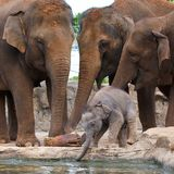 Elephants with calf. Group of elephants surround and protect a tiny cute calf drinking water Stock Photos