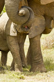 Baby elephant affection. Baby elephant standing below its mothers head and touches her with some affection from its trunk stock images
