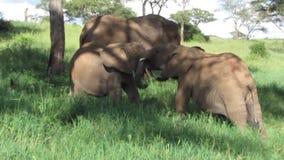 Baby Elephant in Afrika stock video