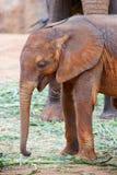 Baby elephant Royalty Free Stock Images