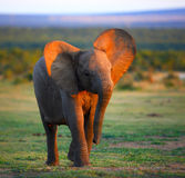 Baby Elephant approaching. Baby Elephant (Motion Blur due to slow shutter - face in focus royalty free stock photos