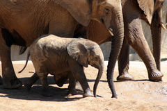 Baby Elephant After Bath. This little baby elephant follows alongside her mother after a mud bath in the grueling desert sun Royalty Free Stock Images