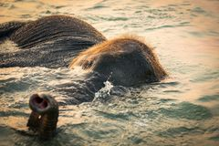 Baby elephant bathing in the sea during sunset. Golden hour in an island south of Thailand stock photos