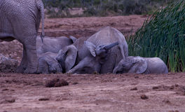 Baby elephant being squashed by her mother. A baby African elephant trying with trunk outstretched to get out from under an adult Royalty Free Stock Photo