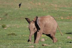 Baby Elephant and Bird Stock Photo