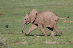 Baby Elephant and Bird. Baby African elephant chasing a small bird away royalty free stock photo