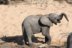 Baby Elephant Blowing Water Stock Images