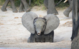Baby Elephant, Botswana Royalty Free Stock Photos