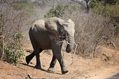 Baby elephant with a branch in its mouth Royalty Free Stock Images