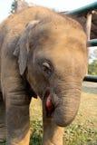 Baby elephant. Elephant breeding center in nepal playing with baby elephant Royalty Free Stock Images