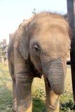 Baby elephant. Elephant breeding center in nepal playing with baby elephant Stock Photo