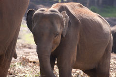 Baby elephant. Brown baby elephant standing by his mother Stock Photography