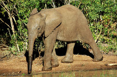 Baby Elephant Calf. Picture of young elephant calf drinking at watering hole Royalty Free Stock Photo