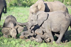 Baby Elephant Calves Play in the Mud Stock Photos
