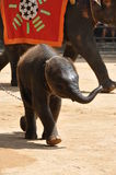 Baby elephant. In the center of the photo baby elephant beside his mother royalty free stock photo