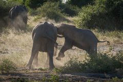 Baby elephant charges another in dust cloud Royalty Free Stock Photography
