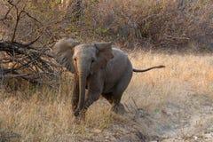 Baby elephant charging Royalty Free Stock Photos