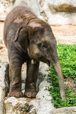 Baby elephant in Chiangmai Zoo , Thailand Stock Photo