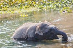 Cute Baby Elephant. Baby elephant at Chitwan National Park,Sauraha,Nepal stock images