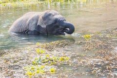 Cute Baby Elephant. Baby elephant at Chitwan National Park,Sauraha,Nepal stock photos
