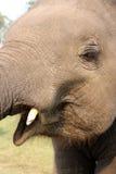 Baby elephant close up. Elephant breeding center in nepal playing with baby elephant Royalty Free Stock Image