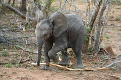 Baby elephant closeup in the savanna. South Africa royalty free stock photos
