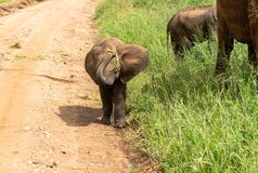 Baby elephant coming towards you stock photos