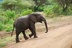 The baby elephant covered a mud. Little muddy baby elephant is crossing a road stock photo
