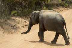 Baby elephant in Yala National Park, Sri Lanka royalty free stock photography