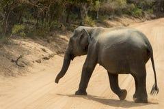 Baby elephant in Yala National Park, Sri Lanka stock image