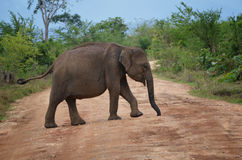 Elephant Crossing the road Royalty Free Stock Photos