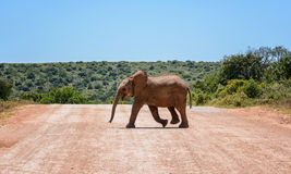 Baby Elephant Crossing Road Stock Photos