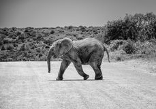 Baby Elephant Crossing Road Royalty Free Stock Photography