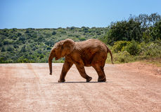 Baby Elephant Crossing Road Stock Photography