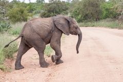 Baby elephant crossing the road. A baby elephant crossing the sand road in Kruger park, South Africa stock image