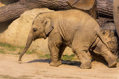Baby elephant, walking Royalty Free Stock Images