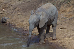 Baby elephant drinking Royalty Free Stock Photo