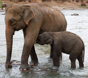 Baby elephant drinking from mother Royalty Free Stock Photo