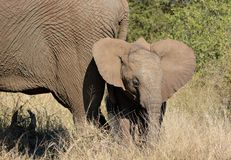 Baby elephant with Dumbo ears. Royalty Free Stock Images