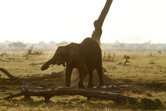 Baby Elephant Dust Bathing Stock Image